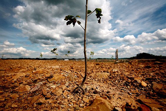 Tree seedlings grow in rocky ground recently planted for reclamation on a mountaintop removal site in eastern Kentucky. Because the rich topsoil has been scraped off during mining, it's often difficult for native trees to survive on reclaimed sites. Complete reforestation is rare, and many mountaintops end up grassy pastures.