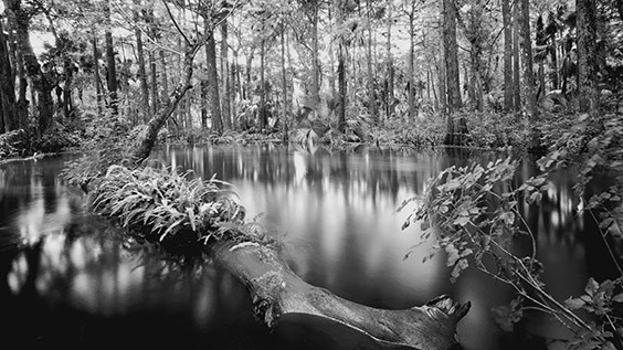 """I spent three years photographing the Loxahatchee River before capturing its essence. One day, I got out of my canoe and, rather than paddling, walked down the river. I became one with the Loxahatchee and found perfect subjects for photographs everywhere I looked."" ‐ Clyde Butcher"
