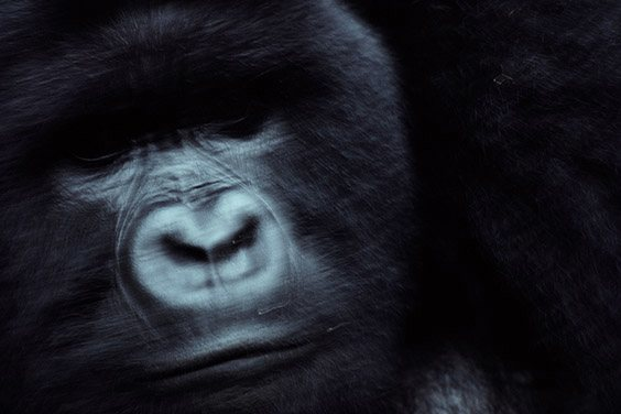 Nichols' introduction to wildlife and conservation photography came in 1980 with this image of a silverback mountain gorilla. The resulting photo‐essay told the story of The Mountain Gorilla Project, a group working to stop poaching, educate communities and familiarize gorillas to harmless observers, the beginnings of eco‐tourism.