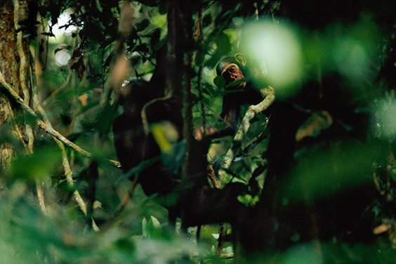 In 1990, Mike Fay discovered a society of chimpanzees who had never encountered humans. They possessed an abundant amount of curiosity without the innate fear of man found in other African wildlife. Twenty years later, these chimps have been studied and protected but remain vulnerable.