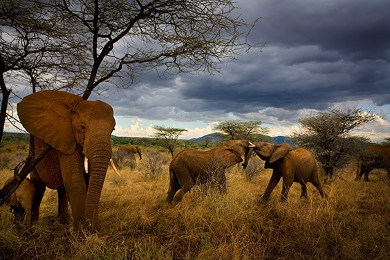 Surrounded and protected by adult females, young elephants play and mock fight. After witnessing the massacre in Chad, Nichols worked to establish elephants as sentient creatures with intricate family ties.