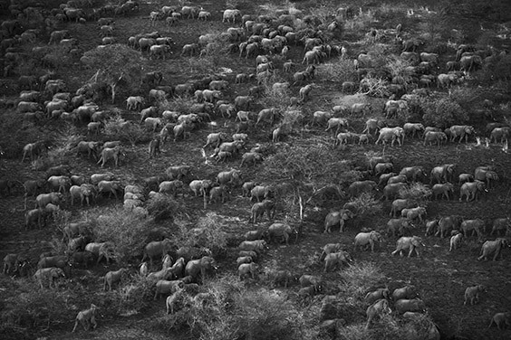Eight hundred elephants, led by a single matriarchal female who knows the safest route to fresh forage, head out of the Zakouma National Park. That evening, poachers ambushed the group. Twenty animals were massacred.