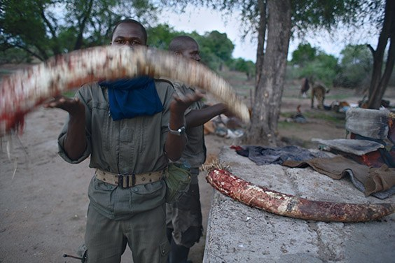 In Chad, elephants live in complete danger. This male elephant was killed within earshot of an anti‐poaching team, who collected the ivory to ensure it didn't end up in China. They did not catch the killers.