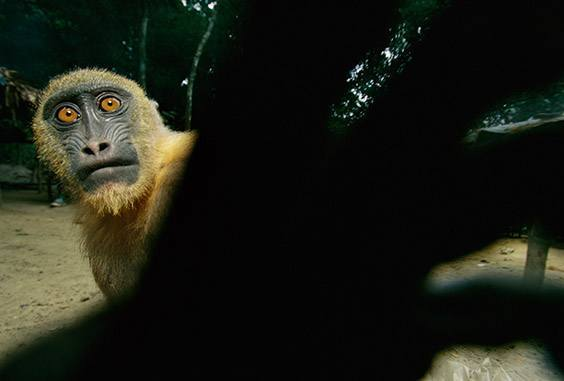 A mandrill, orphaned by a shotgun blast, grabs for the camera from a hunting camp where it is tethered on a rope.