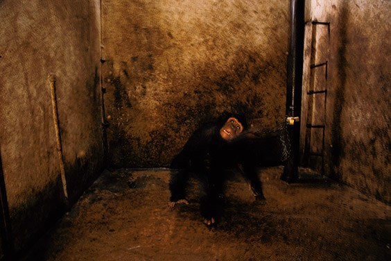 Whiskey, a five‐year‐old chimpanzee, is held captive in a car‐repair garage. He is chained by his neck in a dark, wet, disused lavatory, having become too dangerous to continue as the family pet.