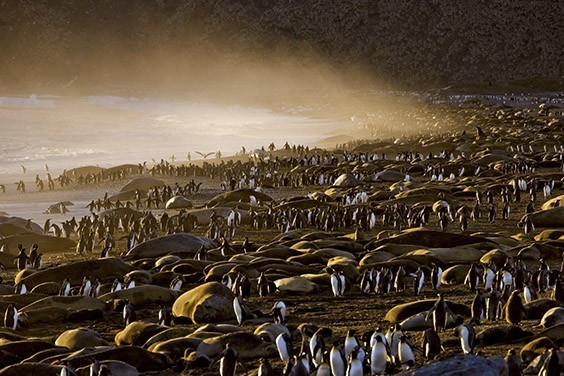 King penguins and elephant seals gather on the beach during breeding season. The ultimate beach party, this profusion of wildlife is fueled by a krill‐rich current from Antarctica.