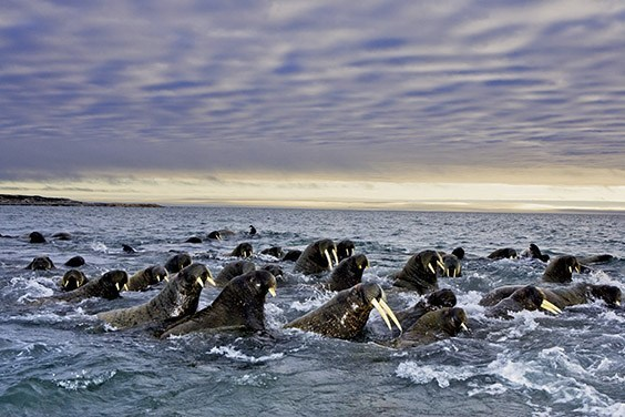 Tusks of all lengths indicate these walruses are of various ages. The group has gathered on the Svalbard Archipelago, which can see as many as 2,600 walruses in a summer. By the early 1900s, ivory hunters had nearly wiped out Norway's walrus herds.