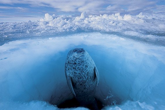 A ringed seal scans for polar bears before taking a breath.