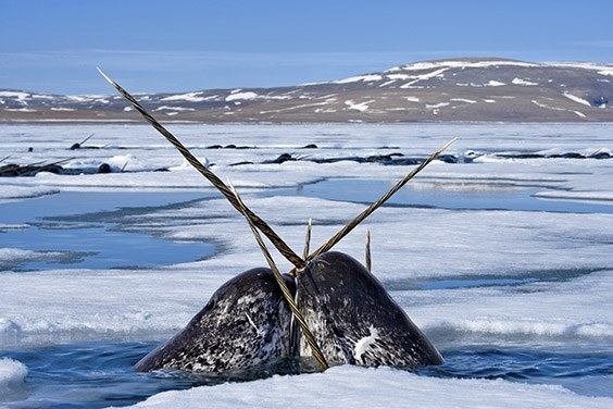 Narwhals cross tusks as they jockey for air.