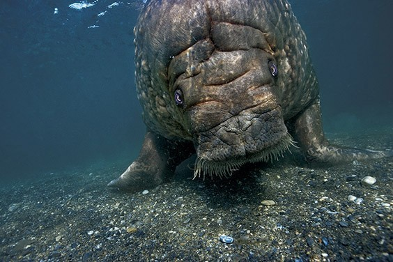 A walrus returns to shore after diving and feeding on clams. The walrus population has slowly increased since Norway banned hunting in 1952. But as oceans warm, sea ice melts and glaciers recede, all wildlife living in the Svalbard Archipelago face an uncertain future.