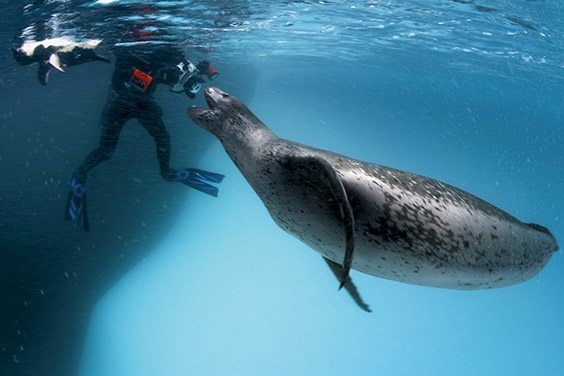 A leopard seal greets underwater cameraman Göran Ehlmé at Antarctica's Anvers Island.