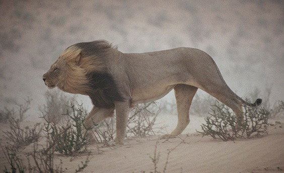 "South Africa, 1996 A lion pushes through a dust storm in Kalahari Gemsbok National Park, South Africa. The weather had worsened to the point that it didn't notice the photographer's approach. ""I shot three rolls of him and just one picture turned out — serendipity,"" says Johns."