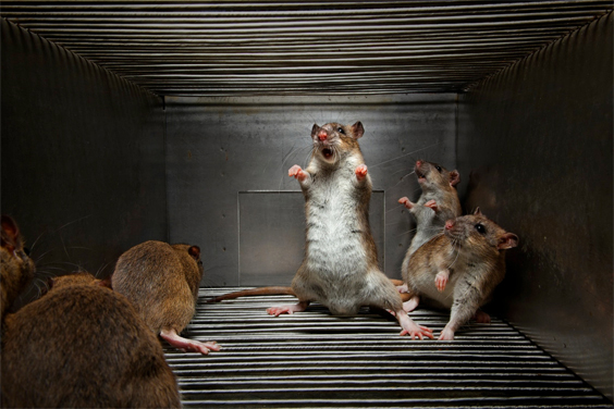 Novosibirsk, Russia, 2009 Studying rats bred to be hostile may help scientists decode the relationship between DNA and behavior, by comparing the aggressive rats' genome with that of rats bred for friendliness.