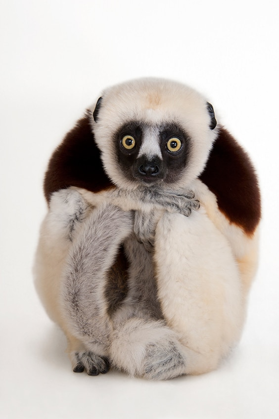 An endangered Coquerel's sifaka (Propithecus coquereli) at the Houston Zoo, Houston, Texas